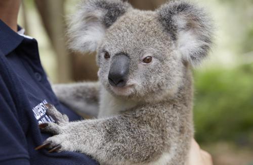 オーストラリアといえばコアラ! ©Maxime Coquard, Tourism Australia
