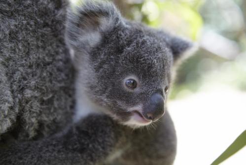 ふわふわのコアラ ©Maxime Coquard, Tourism Australia
