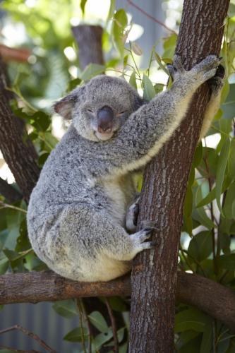 オーストラリアのアイドル☆コアラ ©Maxime Coquard, Tourism Australia