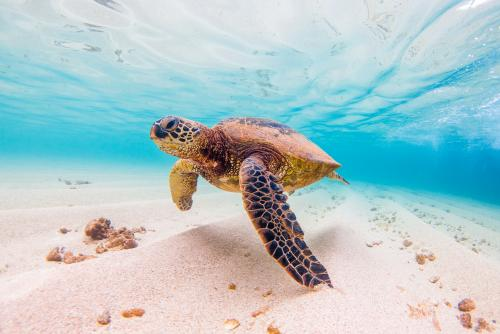 美しい海を泳ぐハワイのアオウミガメ