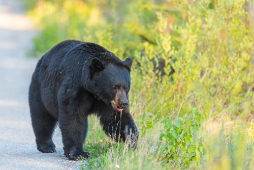 ジャスパー国立公園の野生の熊