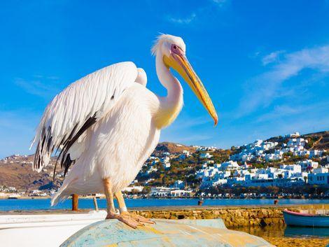 ◇ミコノス島:有名なペリカン