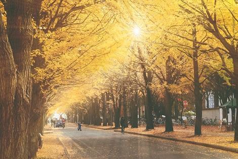札幌:秋は特に美しい北海道大学のイチョウ並木
