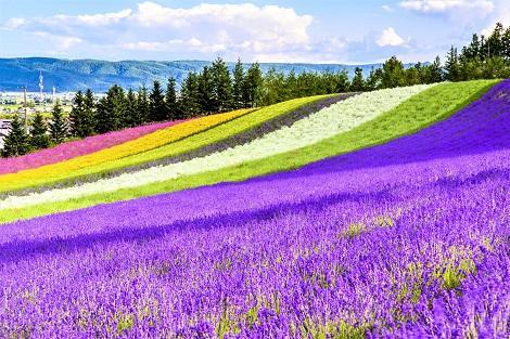 ファーム富田 色とりどりの花景色