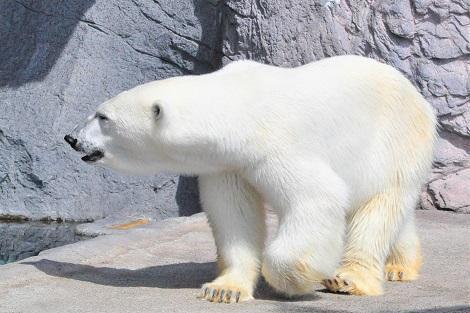 旭山動物園 人気者のホッキョクグマ♪