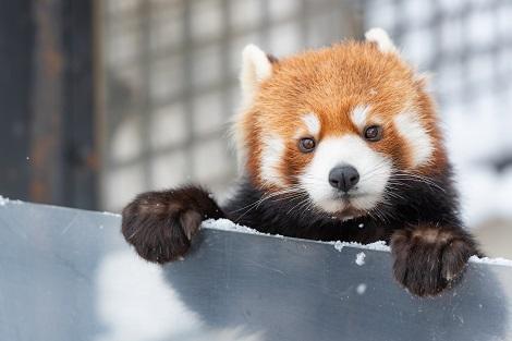 旭山動物園 可愛さ満点♪レッサーパンダ