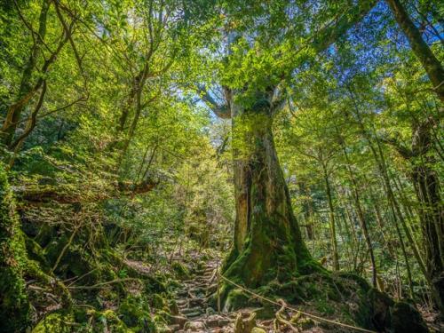 屋久島最大の杉「縄文杉」を目指して大自然の中をトレッキング!