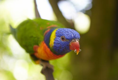 キュランダのレインボーロリキート ©Maxime Coquard, Tourism Australia