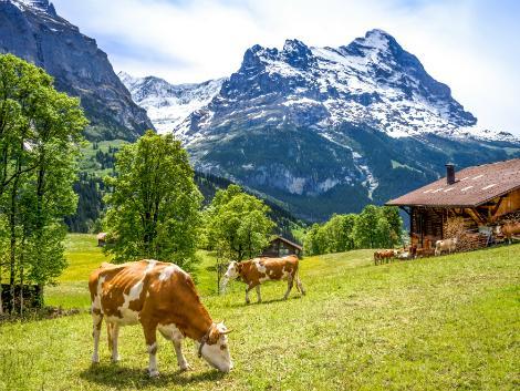 ◇◎グリンデルワルト:牛たち