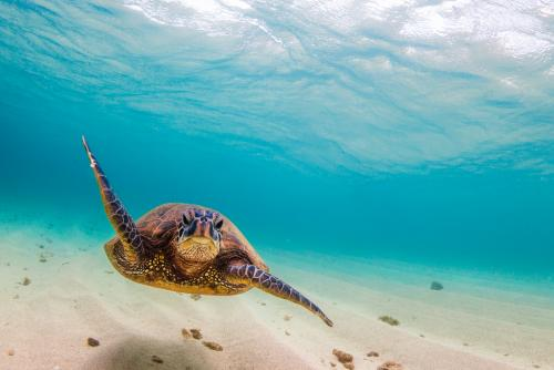 絶滅危惧種に分類されているハワイのアオウミガメ