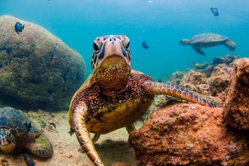 保護の対象となっているハワイのアオウミガメ