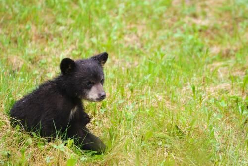 ジャスパー国立公園の野生の子熊