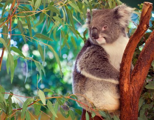 オーストラリアと言えばコアラ!