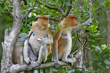 コタキナバル郊外:マングローブに住むテングザル