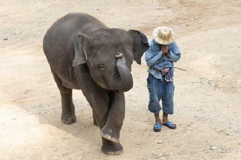 チェンマイ:メーサエレファントキャンプの赤ちゃん象
