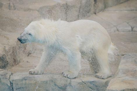 札幌:円山動物園 ホッキョクグマ